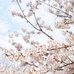 春のさくら